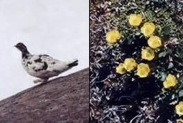 Ptarmigan and Buttercups